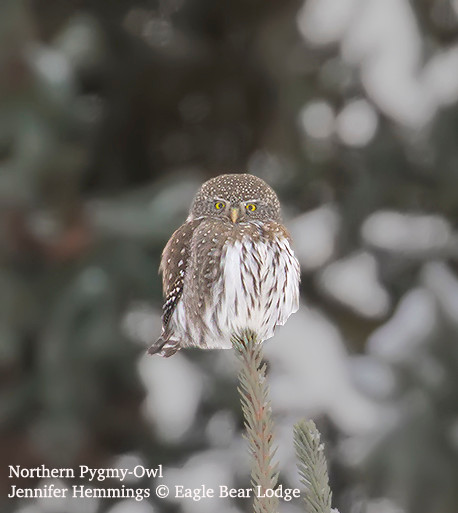 Northern Pygmy-Owl - Eagle Bear Lodge