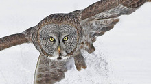 Great Grey Owls - Jan. 2020