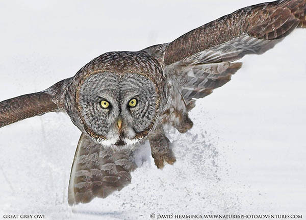 Great Grey Owl by David Hemmings
