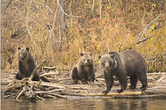 BC Grizzly Bears