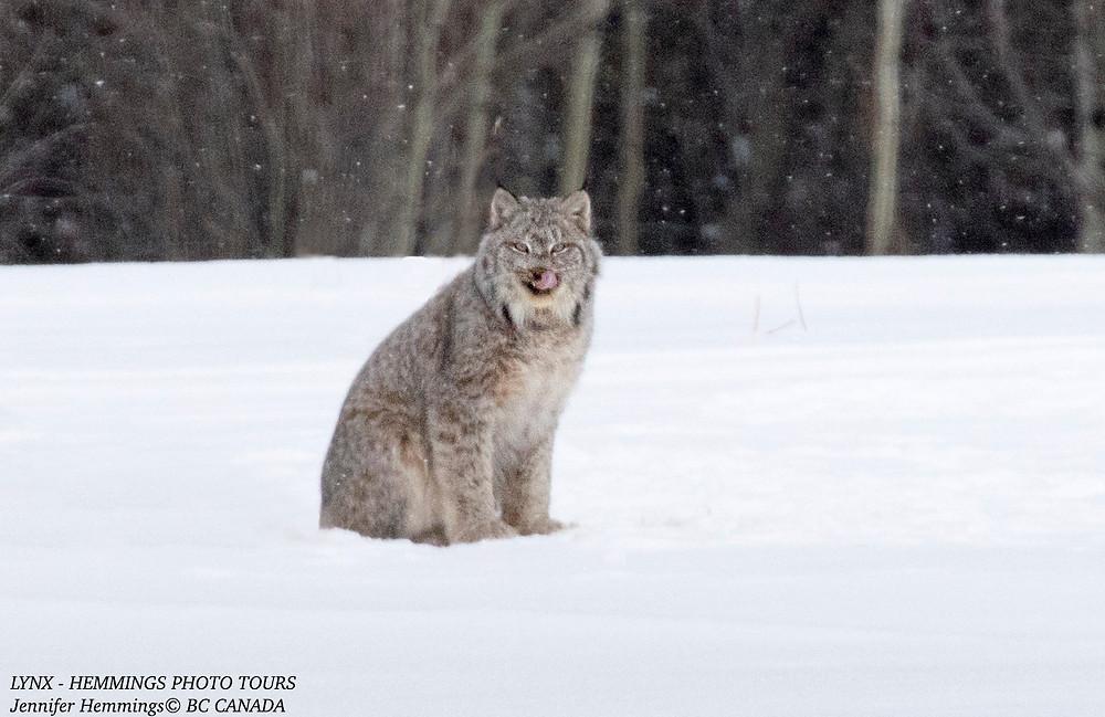 Lynx Photo by Jennifer Hemmings