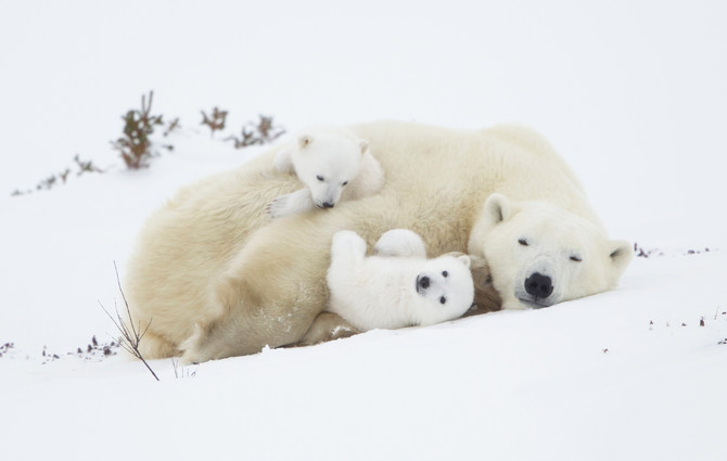 1 spot left Polar Mother & Newborn Cubs March 2020
