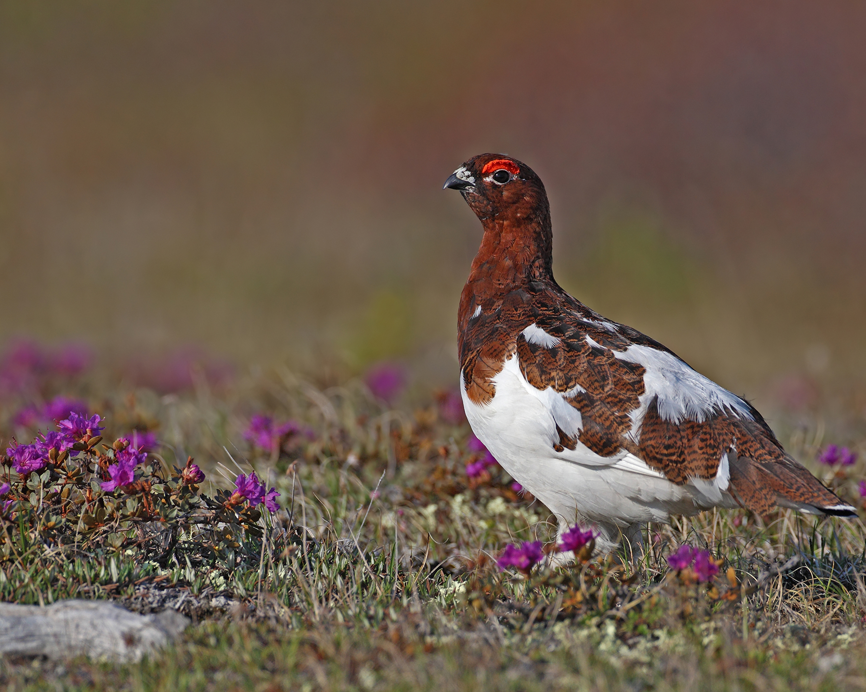 AGAMI Willow Ptarmigan Male 1 Canada 2013 David Hemmings