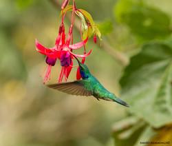 Saphire-throated-Hummingbird-David-Hemmings-File0870