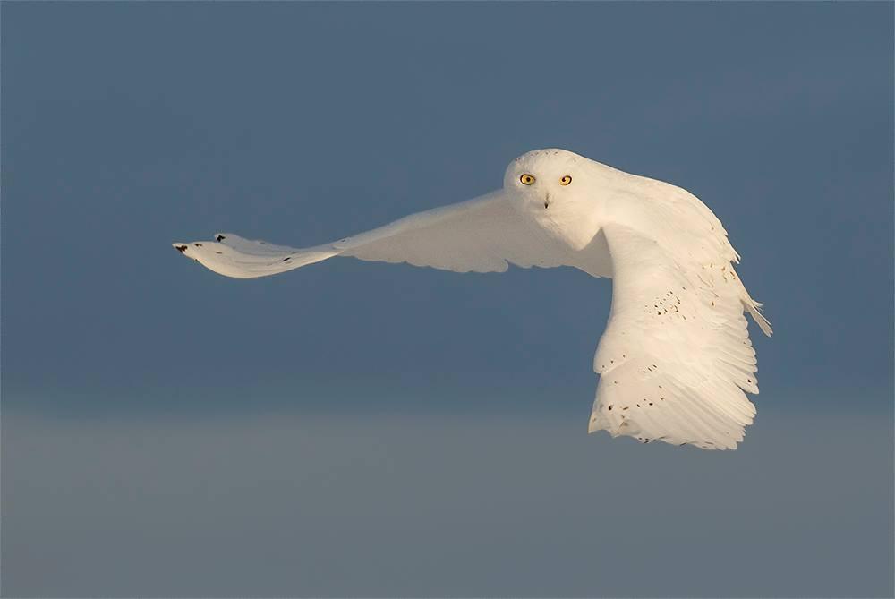 Snowy Owl -Male, photo by David Hemmings