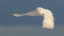 Snowy Owls-Feb 02-06, 2020- Saskatoon - 2 spots open