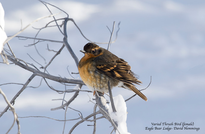 Varied Thrush Bird