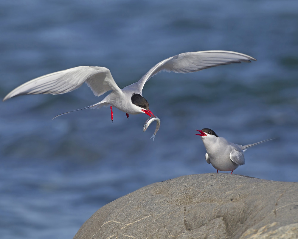 Arctic Terns - David Hemmings Eagle Bear Lodge