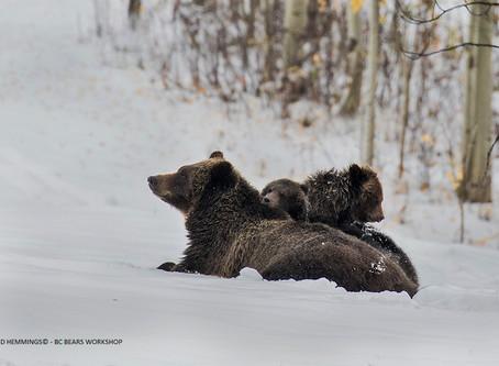 Grizzly Bears & Snowy Days