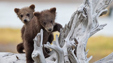 Baby Bears! Perfect Baby Shower Gift