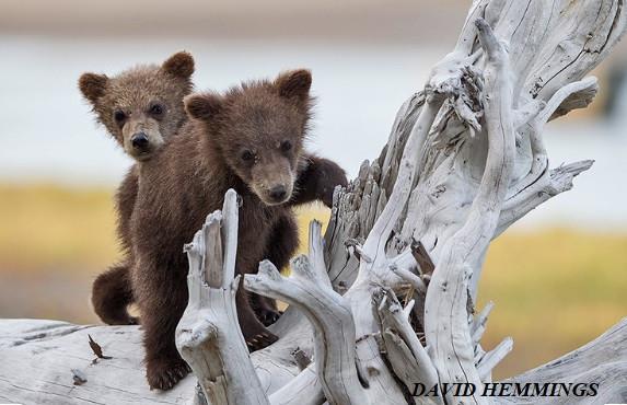 Bear cubs print by David Hemmings