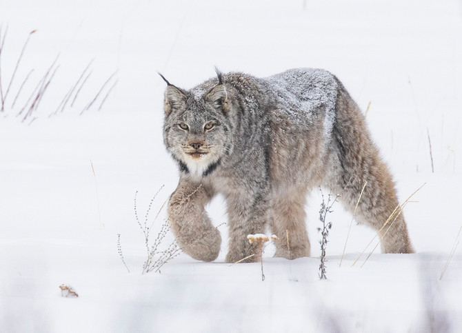 Lynx, Wolves, Winter Animals BC Canada