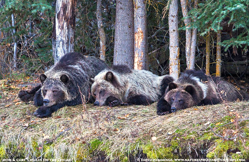 Sleeping Grizzly Mother and Cubs