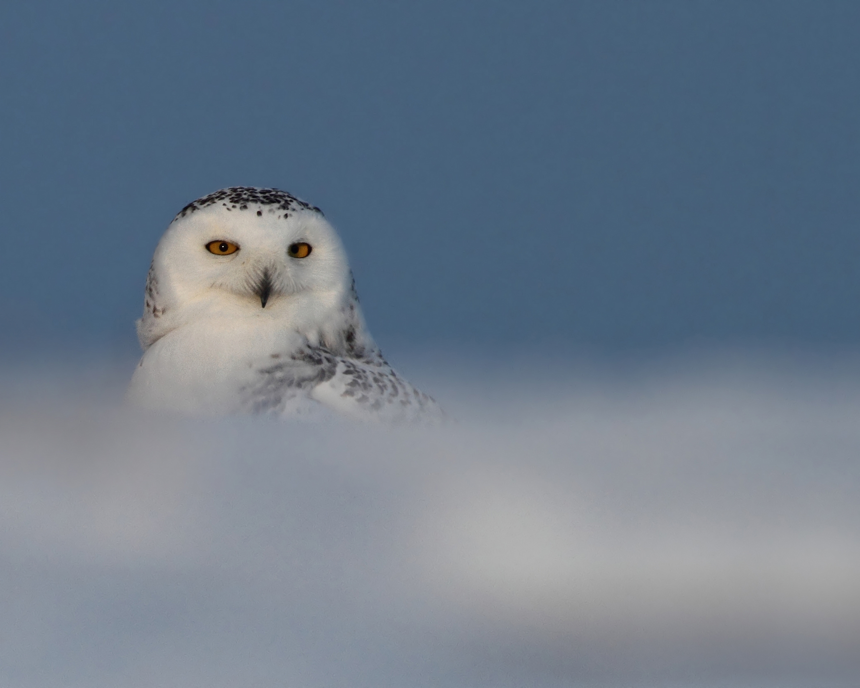 AGAMI Snowy Owl 15 Canada david Hemmings