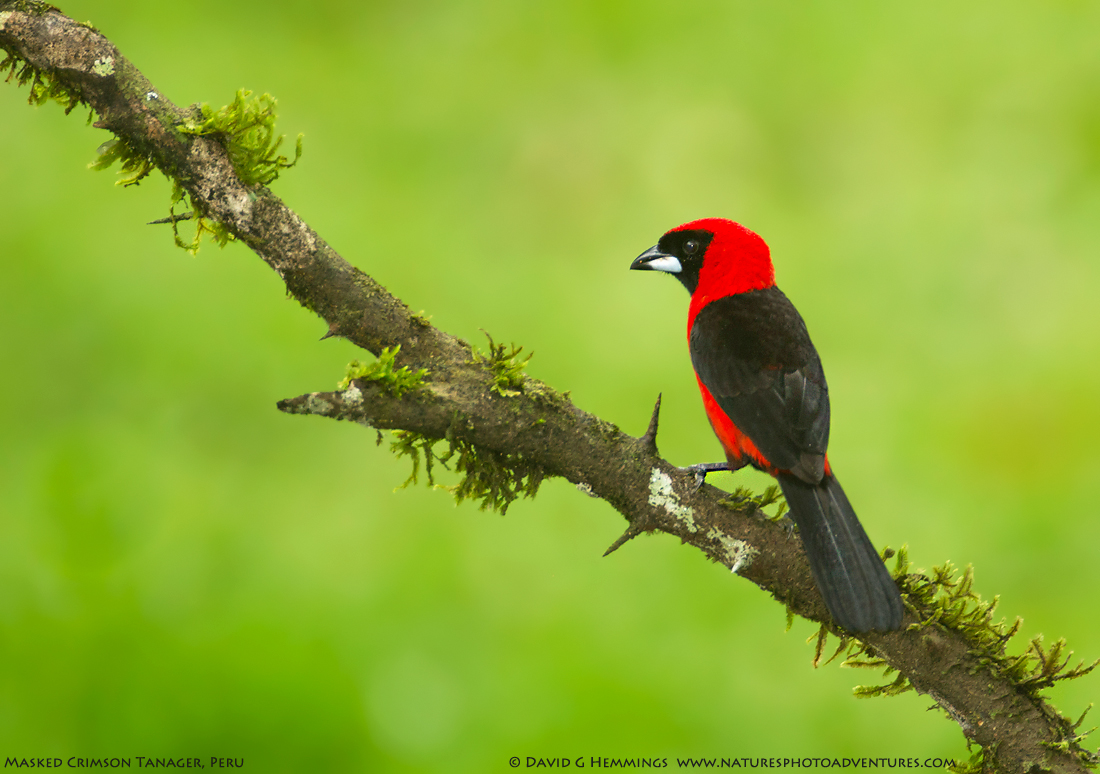 Masked Crimson Tanager web