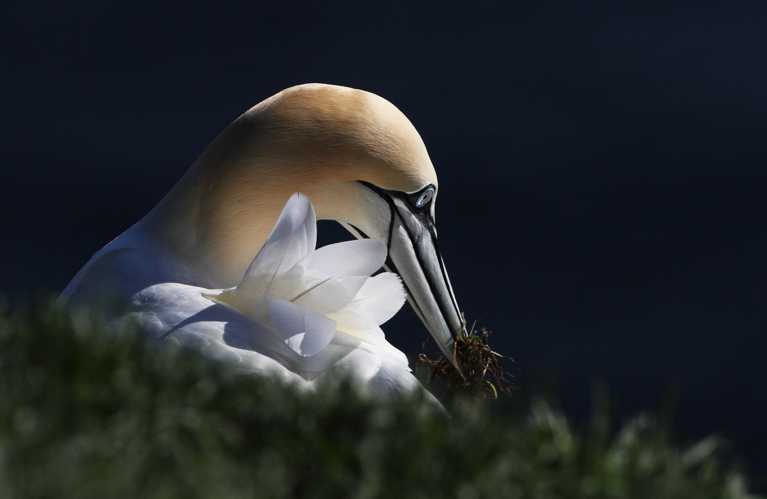 AGAMI Northern Gannet 1 Canada David Hemmings