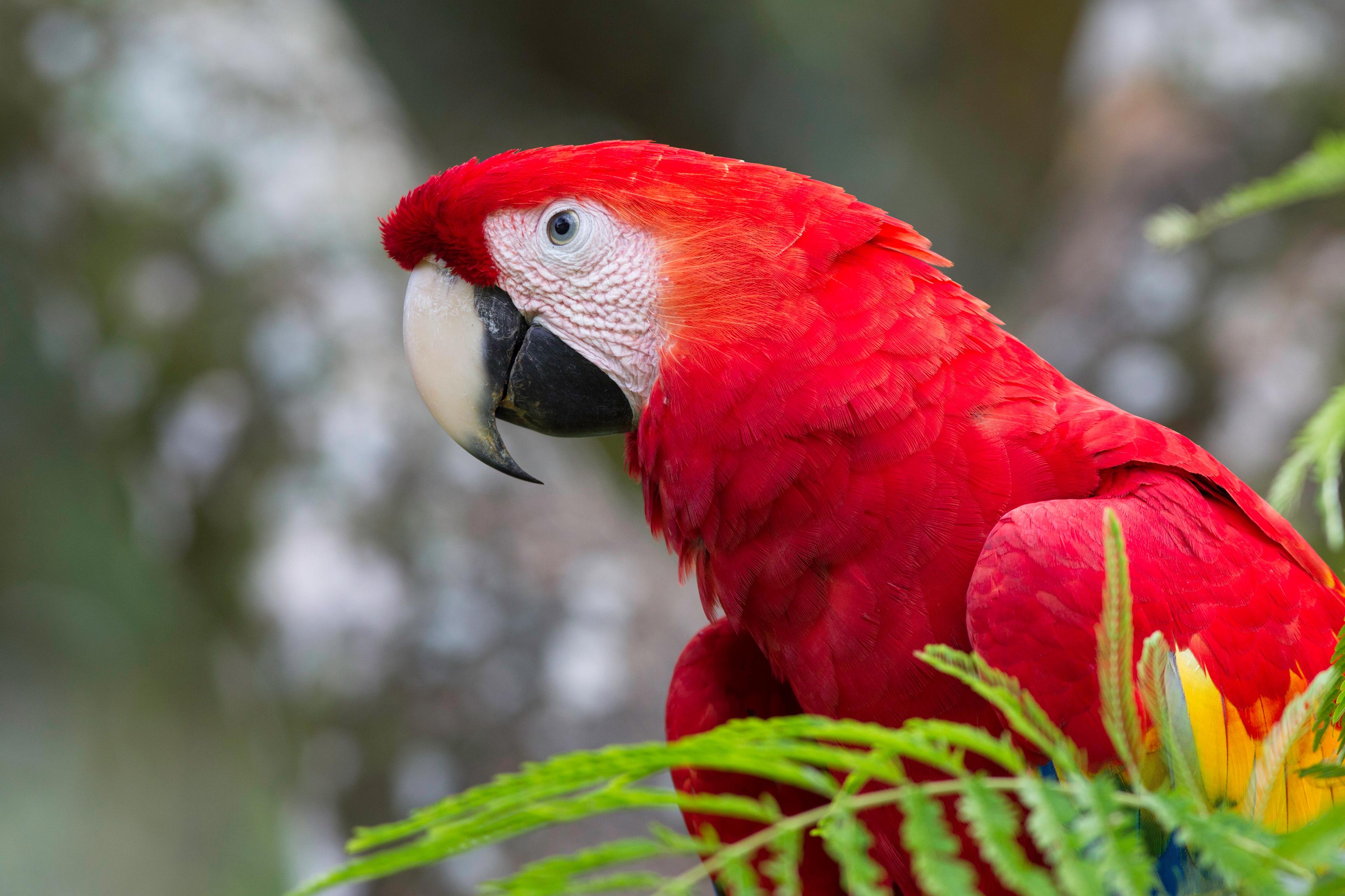 Scarlett Macaw 2_1