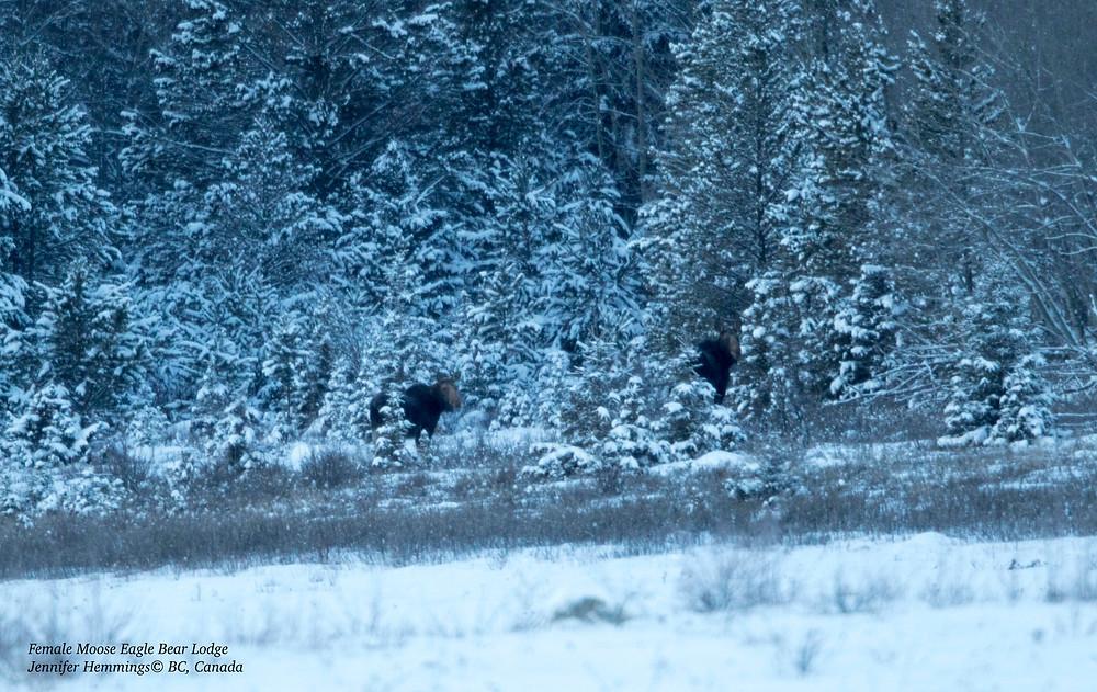 Moose at Eagle Bear Lodge