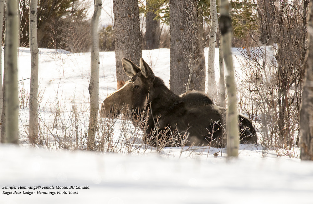 Female Moose resting at Eagle Bear Lodge