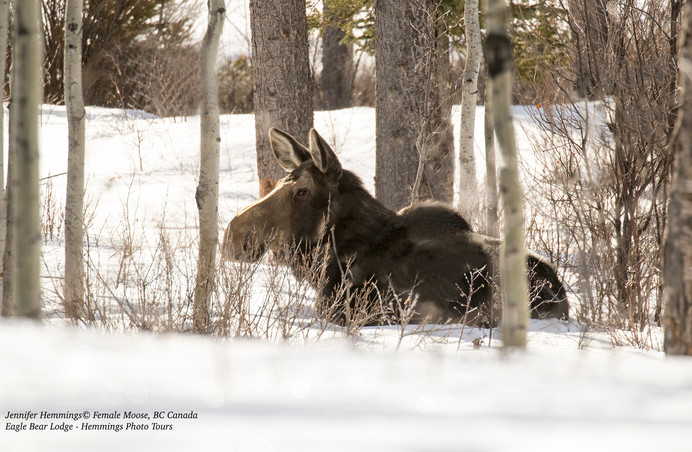 Moose resting at Eagle Bear Lodge