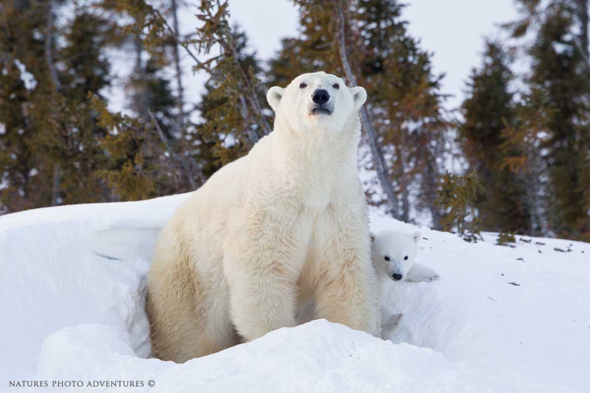 Blue-Snow-Blog-Polar-Bear-Image-1_V6C4029