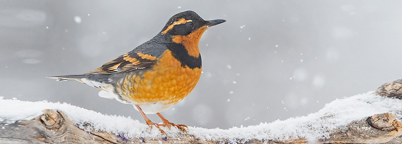 Varied Thrush David Hemmings Hemmings Ph