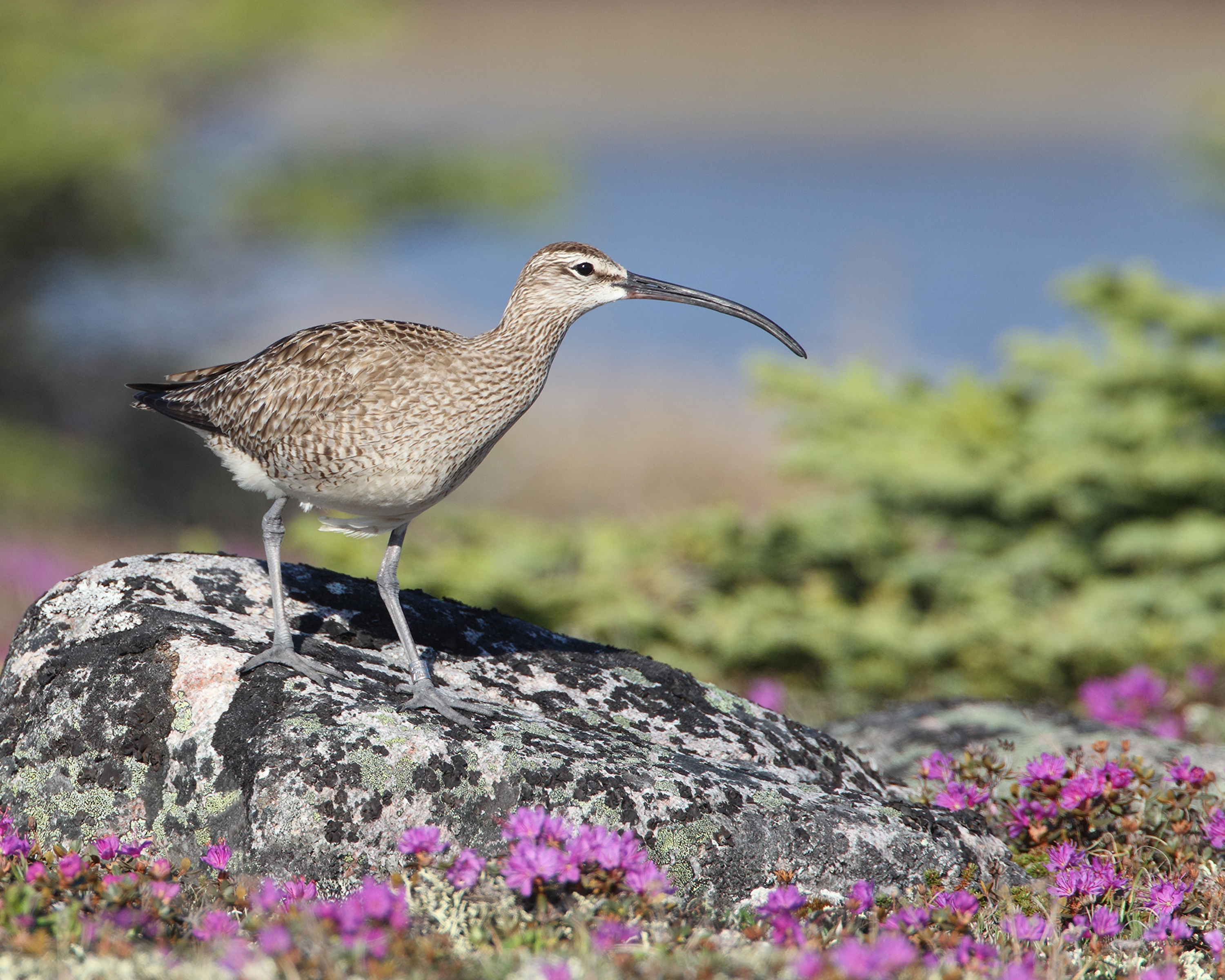 AGAMI Whimbrel 1 Canada David Hemmings
