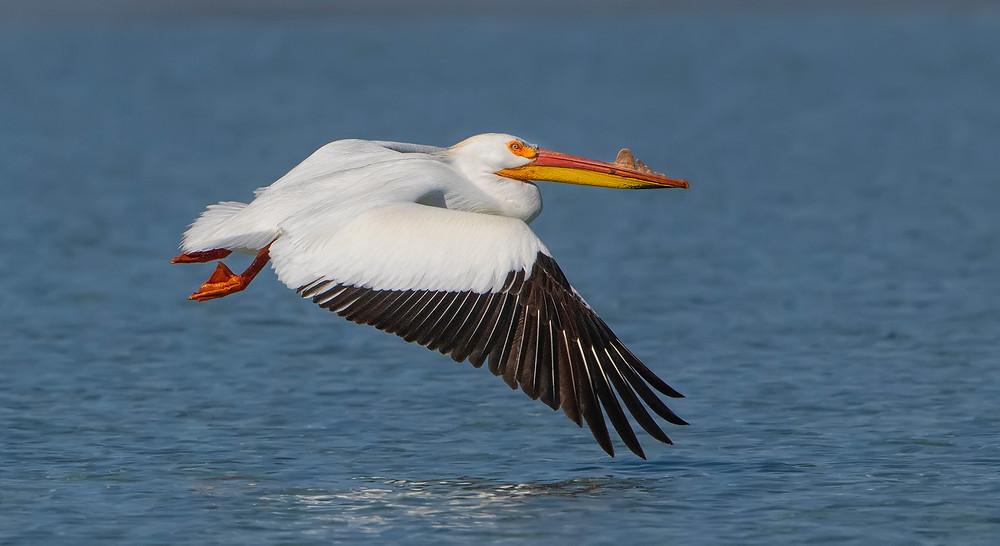 American Pelican - Photo by David Hemmings