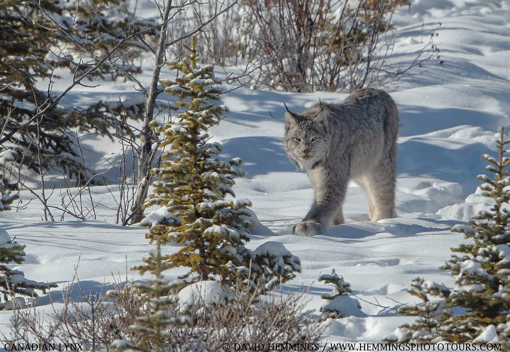 Canadian Lynx-David Hemmings Photo Tours