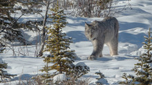 Canadian Lynx! Awesome Experience