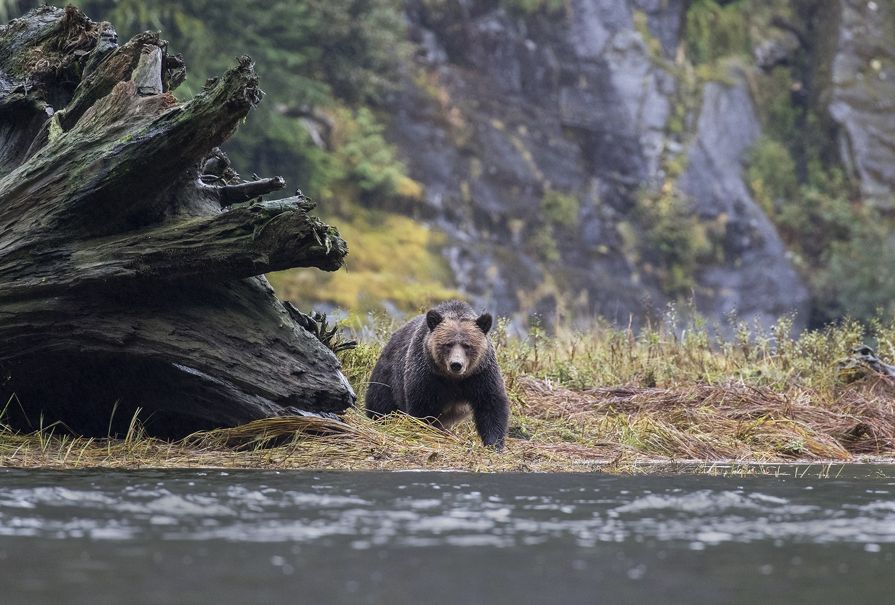 DAVID HEMMINGS GREAT BEAR RAINFOREST Sai