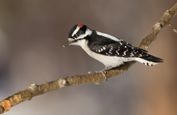 Male Downy Woodpecker David Hemmings_F4A0373