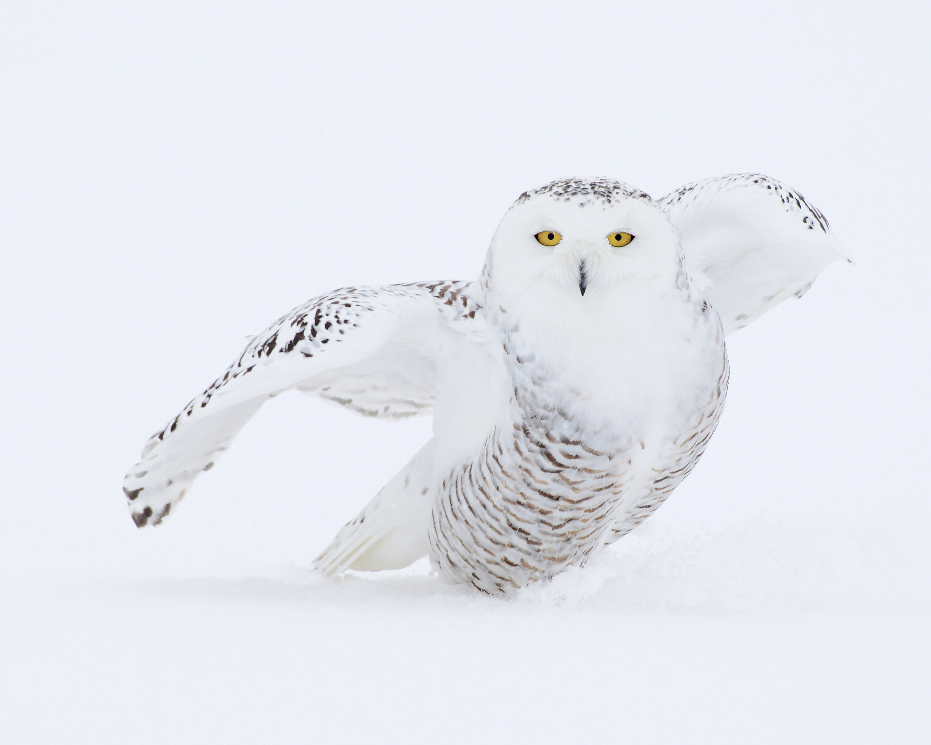 AGAMI Snowy Owl 24 Canada david Hemmings