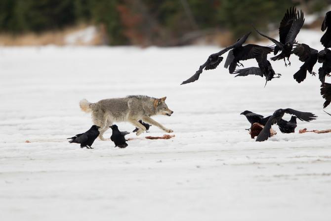 Amazing Wild Wolf Photography