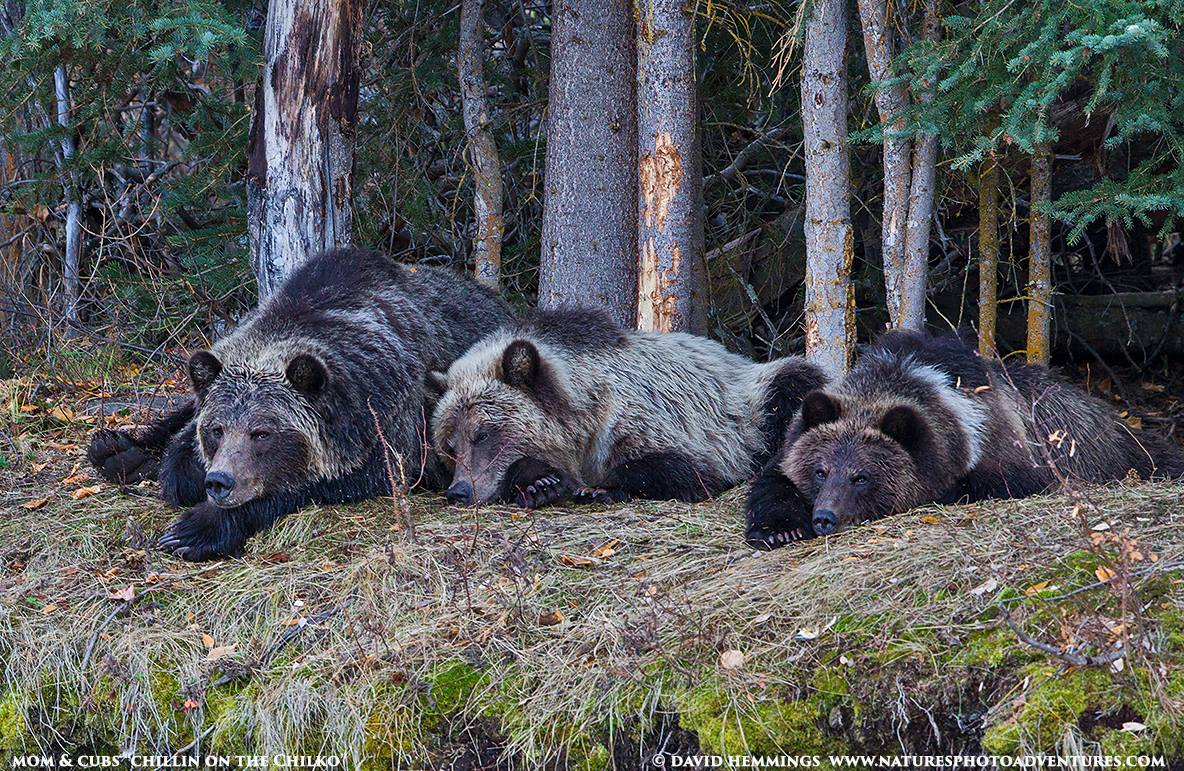Sleeping Mother and Cubs David Hemmings