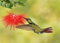 Green-Throated-Mango-Hummingbird