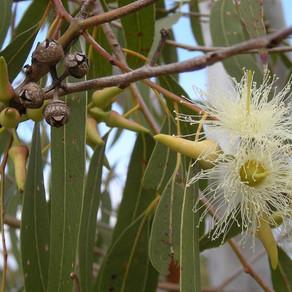 Eucalyptus: the natural antiseptic