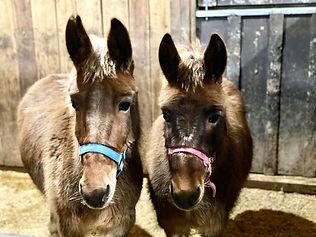 Molly and Polly Donkeys.jpg