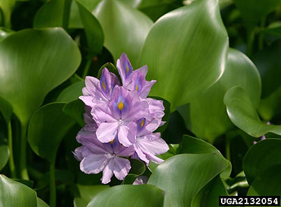waterhyacinthwithflower_502738_7.jpg