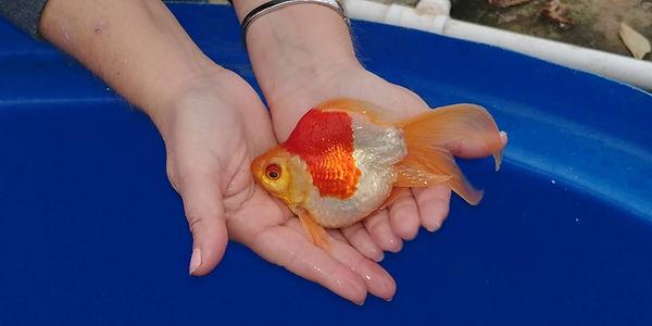 Tamasaba Goldfish