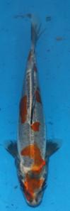 YOS81