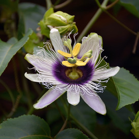 passion-flower-1592278_1280.jpg