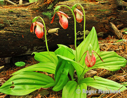 Lady Slippers Plant