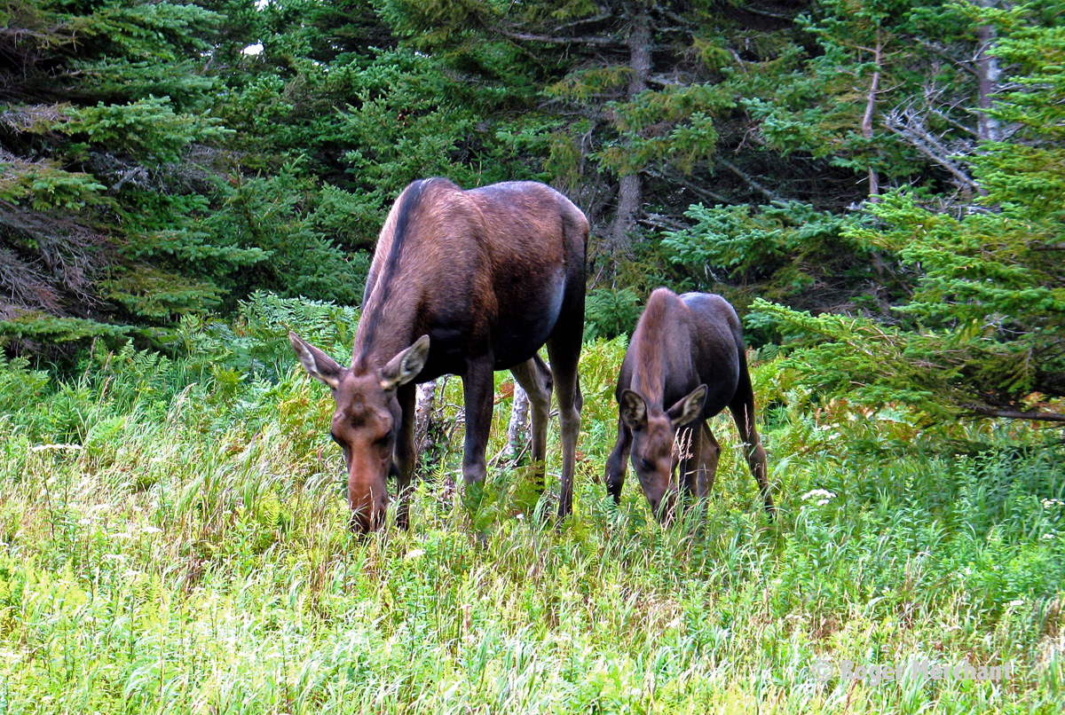 Moose Grazing