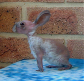 hairless bunny rabbit