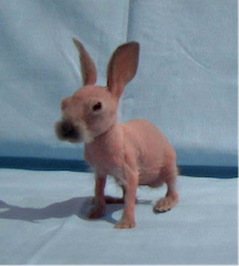 hairless rabbit sitting up