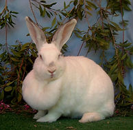 Fat rabbit with large dewlap