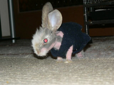 hairless rabbit with jacket