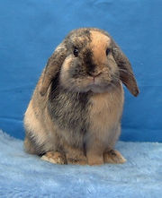 Amazing harlequin Mini Lop buck