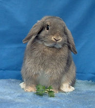 Adorable opal Miniature Lop in Pet Rabbit World